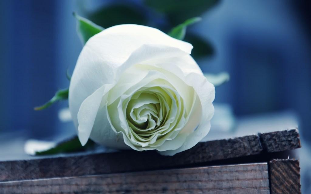 Rose-blanche-et-le-sonnet